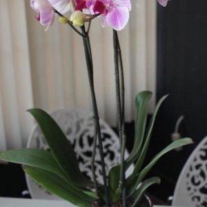 Orquidea Morada en Maceta